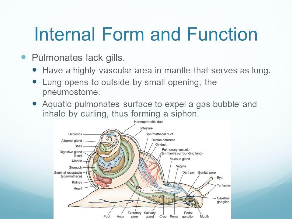 Internal Form and Function Pulmonates lack gills.