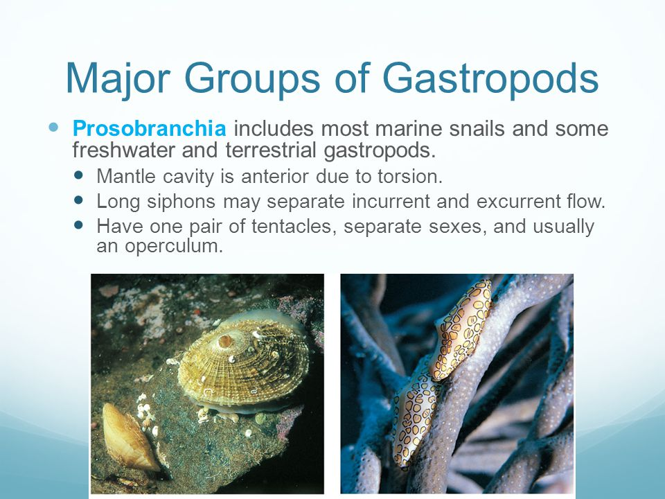 Major Groups of Gastropods Prosobranchia includes most marine snails and some freshwater and terrestrial gastropods.
