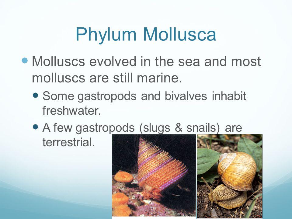 Phylum Mollusca Molluscs evolved in the sea and most molluscs are still marine.