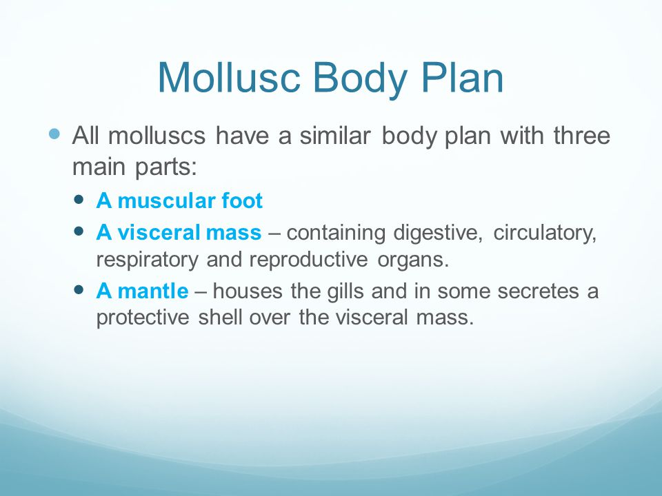 Mollusc Body Plan All molluscs have a similar body plan with three main parts: A muscular foot A visceral mass – containing digestive, circulatory, respiratory and reproductive organs.