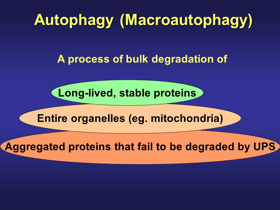 Autophagy (Macroautophagy) Aggregated proteins that fail to be degraded by UPS Entire organelles (eg. mitochondria) Long-lived, stable proteins A proc