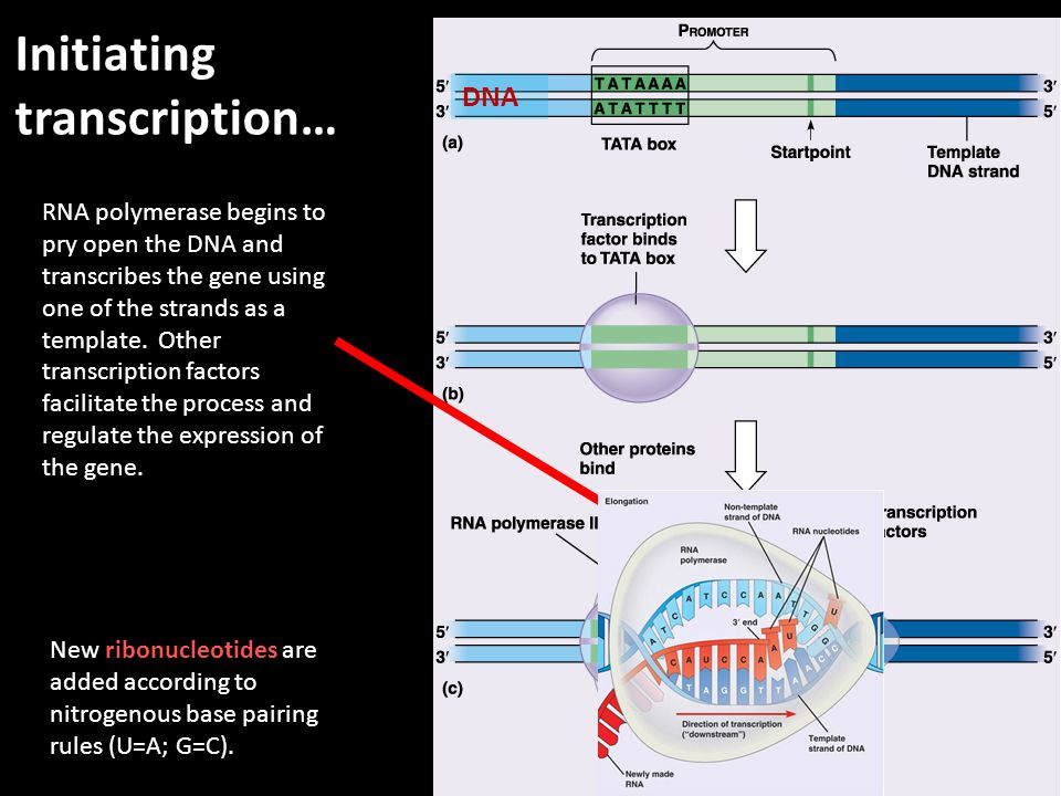 Initiating transcription… RNA polymerase begins to pry open the DNA and transcribes the gene using one of the strands as a template. Other transcripti