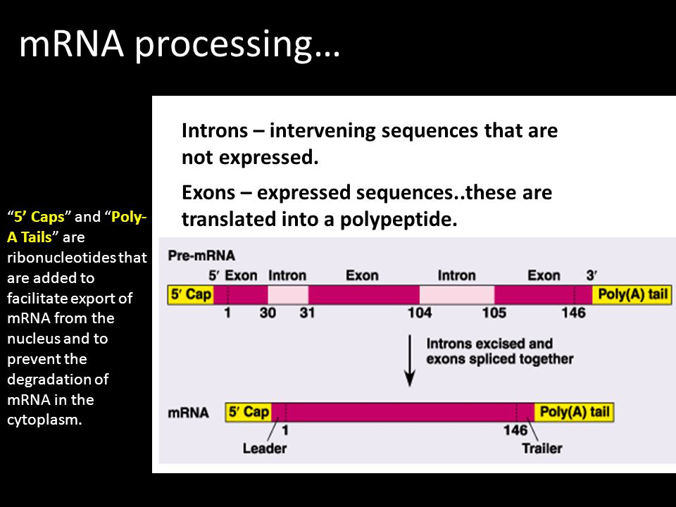 mRNA processing… Introns – intervening sequences that are not expressed. Exons – expressed sequences..these are translated into a polypeptide. 5 Caps