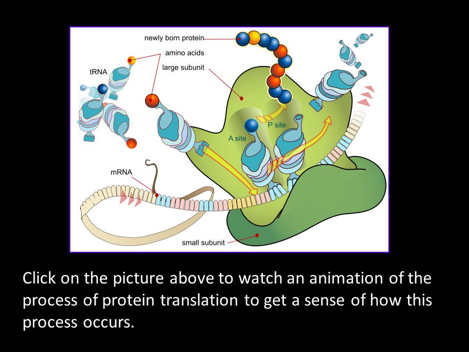 Click on the picture above to watch an animation of the process of protein translation to get a sense of how this process occurs.