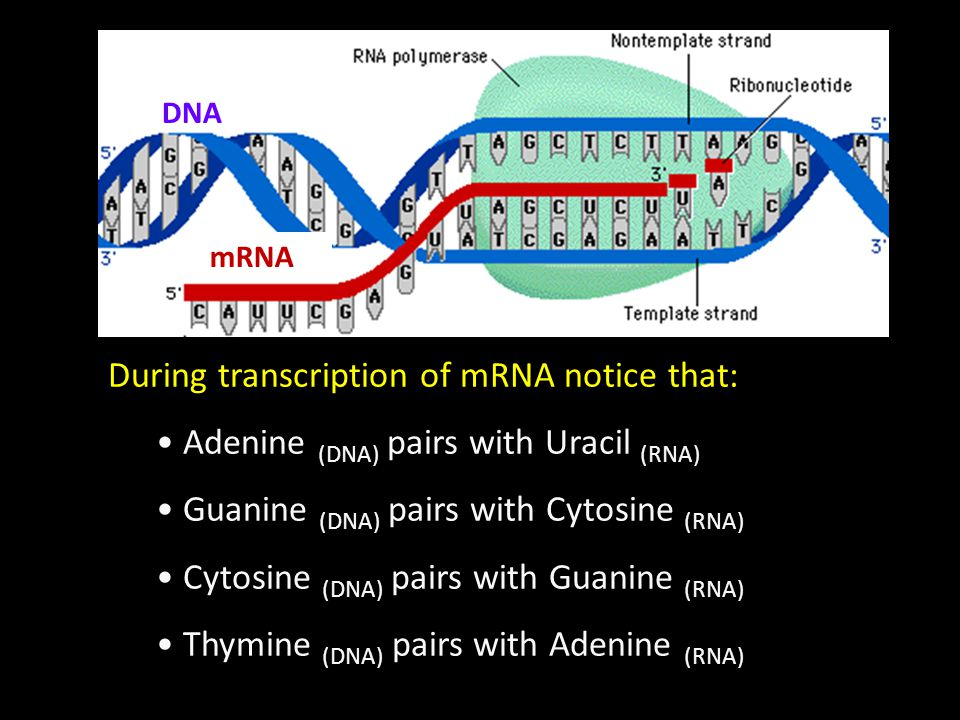 During transcription of mRNA notice that: Adenine (DNA) pairs with Uracil (RNA) Guanine (DNA) pairs with Cytosine (RNA) Cytosine (DNA) pairs with Guan