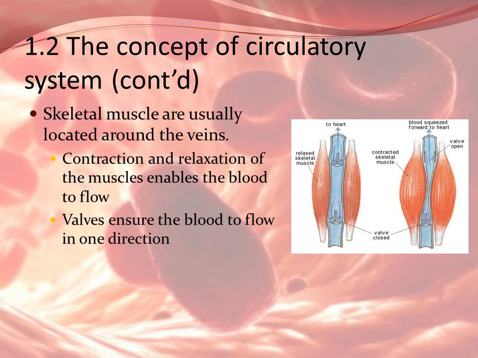 1.2 The concept of circulatory system (contd) Skeletal muscle are usually located around the veins. Contraction and relaxation of the muscles enables