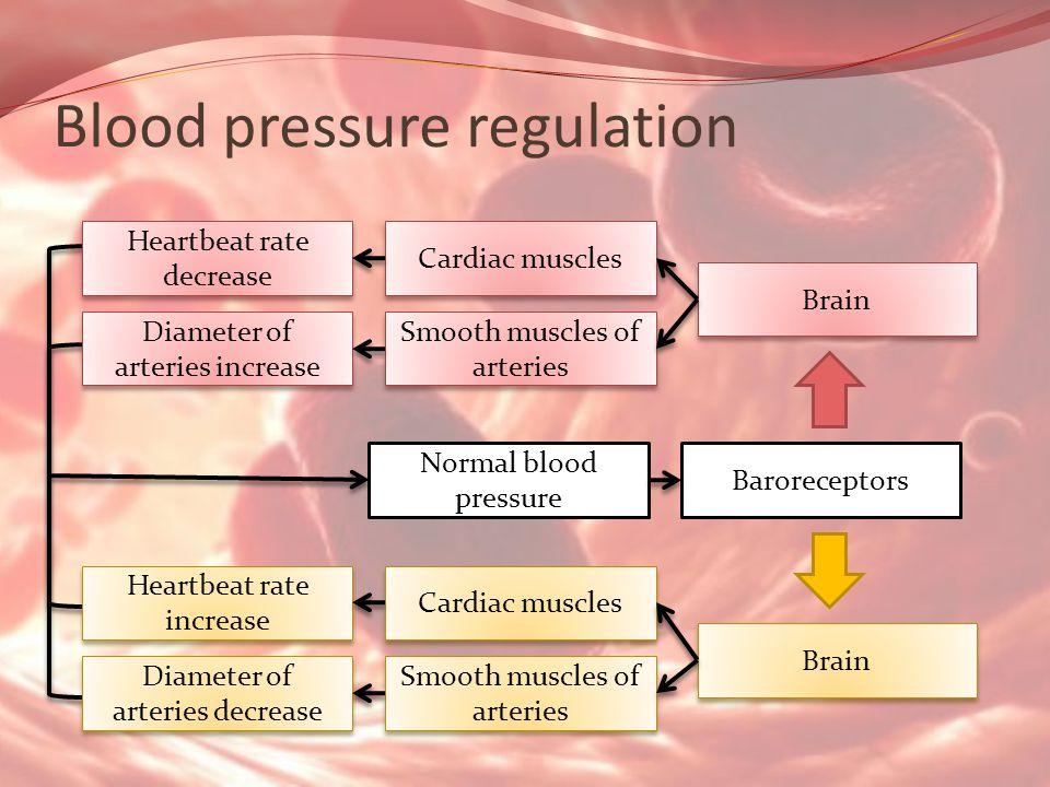 Blood pressure regulation Normal blood pressure Baroreceptors Brain Cardiac muscles Smooth muscles of arteries Heartbeat rate decrease Diameter of arteries increase Brain Cardiac muscles Smooth muscles of arteries Heartbeat rate increase Diameter of arteries decrease