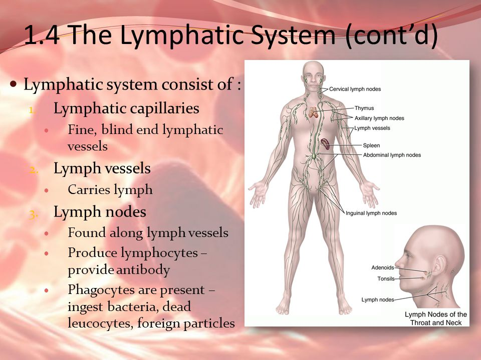 1.4 The Lymphatic System (contd) Lymphatic system consist of : 1. Lymphatic capillaries Fine, blind end lymphatic vessels 2. Lymph vessels Carries lym