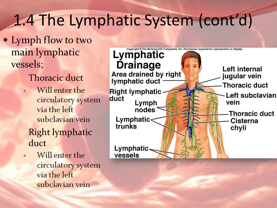 1.4 The Lymphatic System (contd) Lymph flow to two main lymphatic vessels; 1. Thoracic duct Will enter the circulatory system via the left subclavian