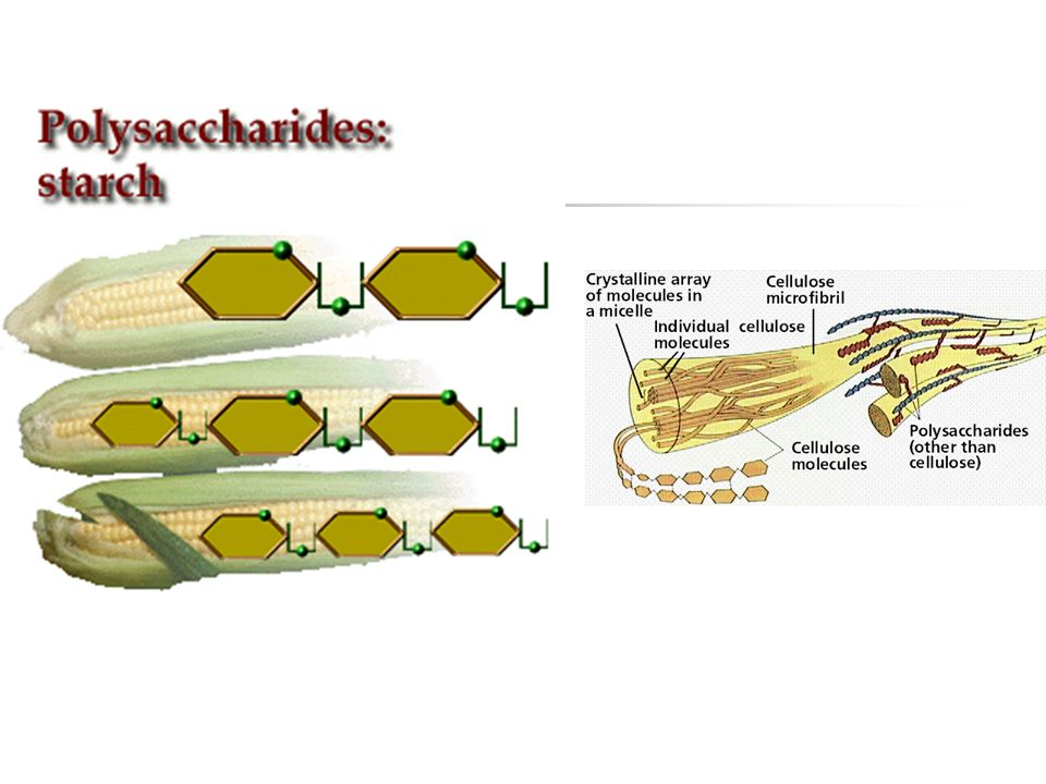 D.Polysaccharides 1.
