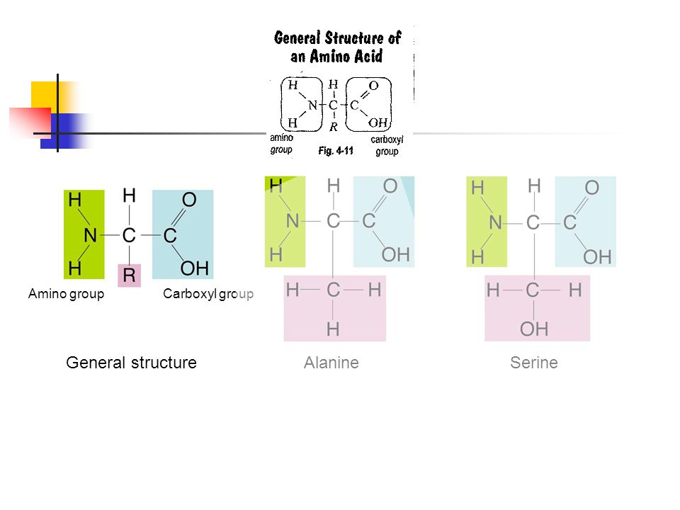 General structureAlanineSerine Section 2-3 Figure 2-16 Amino Acids Go to Section: Amino groupCarboxyl group