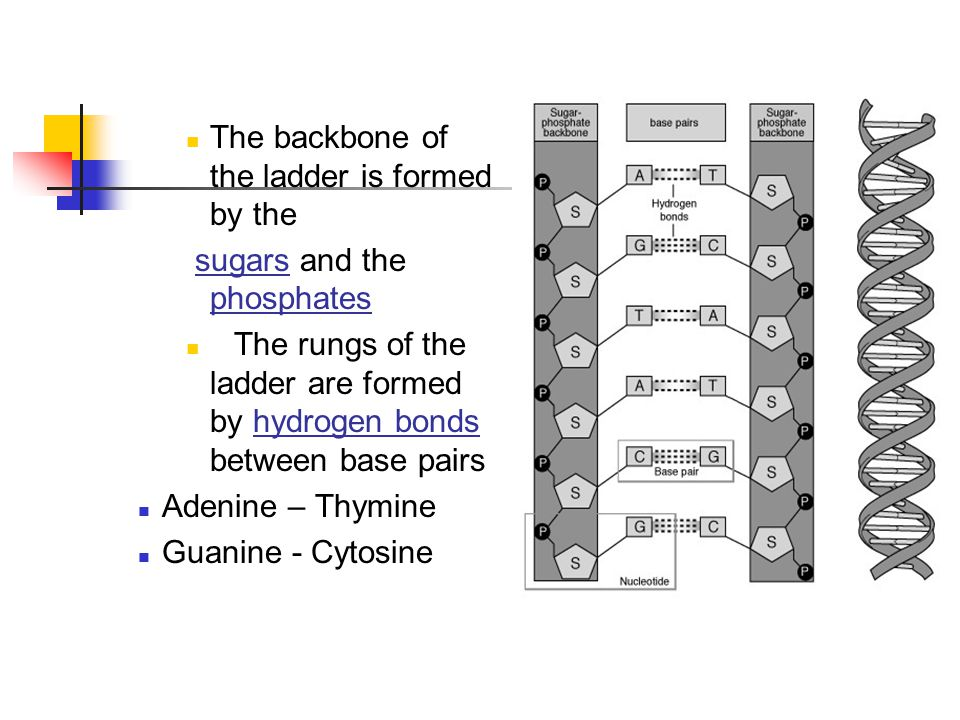 The backbone of the ladder is formed by the sugars and the phosphates The rungs of the ladder are formed by hydrogen bonds between base pairs Adenine