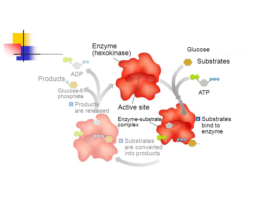 Glucose Substrates ATP Substrates bind to enzyme Substrates are converted into products Enzyme-substrate complex Enzyme (hexokinase) ADP Products Gluc