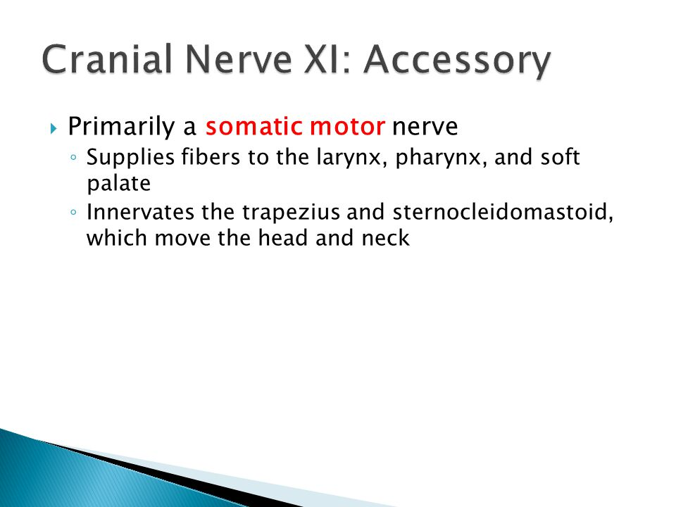 Primarily a somatic motor nerve Supplies fibers to the larynx, pharynx, and soft palate Innervates the trapezius and sternocleidomastoid, which move t