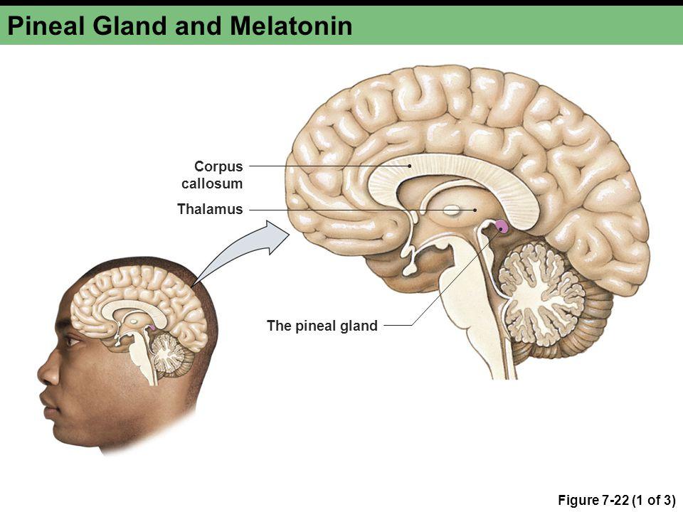 Pineal Gland and Melatonin Figure 7-22 (1 of 3) Thalamus Corpus callosum The pineal gland