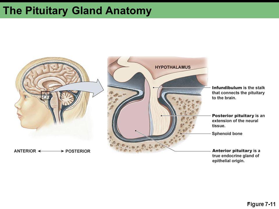 The Pituitary Gland Anatomy Figure 7-11