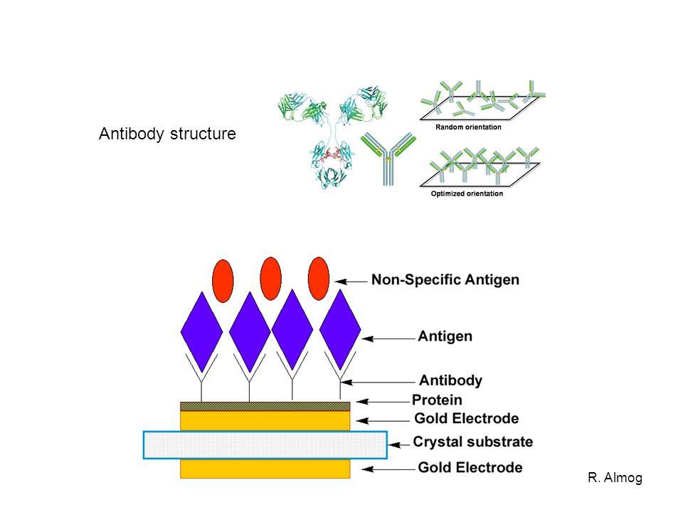 R. Almog Antibody structure