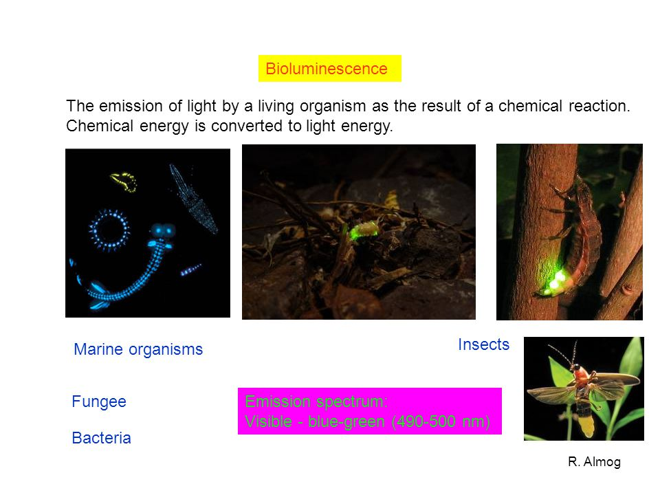 R. Almog Bioluminescence The emission of light by a living organism as the result of a chemical reaction. Chemical energy is converted to light energy
