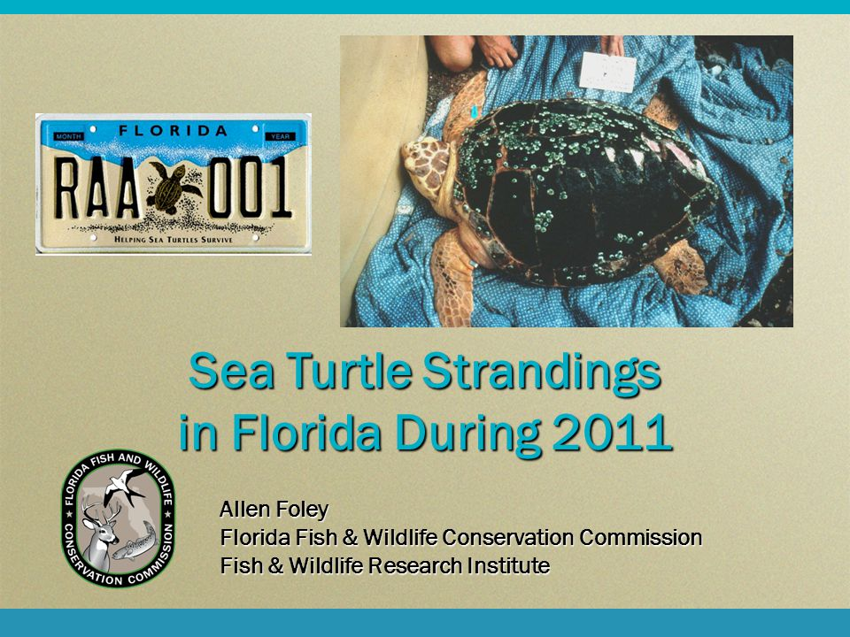 Sea Turtle Strandings in Florida During 2011 Allen Foley Florida Fish & Wildlife Conservation Commission Fish & Wildlife Research Institute