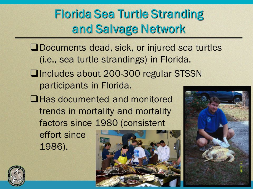 Documents dead, sick, or injured sea turtles (i.e., sea turtle strandings) in Florida.