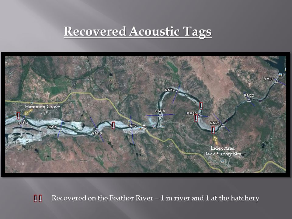 Recovered Acoustic Tags Recovered on the Feather River – 1 in river and 1 at the hatchery Index Area Redd Survey Site Hammon Grove
