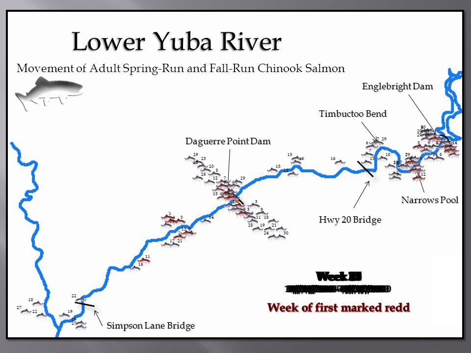 Simpson Lane Bridge Daguerre Point Dam Englebright Dam Hwy 20 Bridge Narrows Pool Timbuctoo Bend Lower Yuba River Movement of Adult Spring-Run and Fal