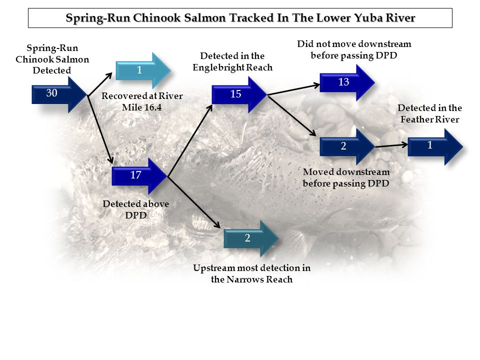 30 171521321 1 Spring-Run Chinook Salmon Detected Detected above DPD Detected in the Englebright Reach Did not move downstream before passing DPD Move