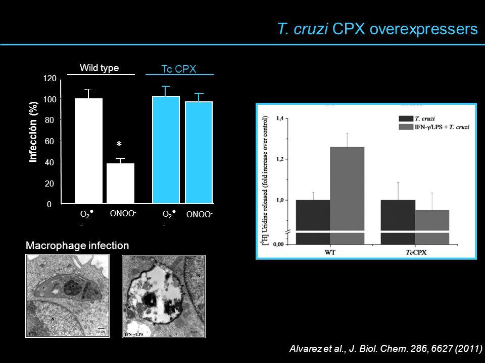 T. cruzi CPX overexpressers 0 20 40 60 80 100 120 Infección (%) Tc CPX Wild type O 2 - ONOO - O 2 - * ONOO - Macrophage infection Alvarez et al., J. B