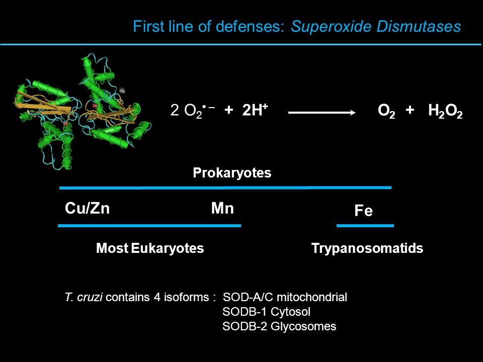 First line of defenses: Superoxide Dismutases 2 O 2 – + 2H + O 2 + H 2 O 2 Cu/ZnMn Fe Most Eukaryotes Prokaryotes Trypanosomatids T.