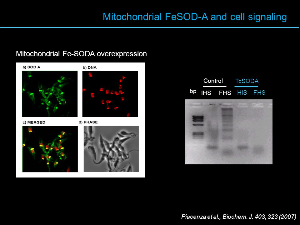 Mitochondrial FeSOD-A and cell signaling Control TcSODA IHS FHS HIS FHS bp Mitochondrial Fe-SODA overexpression Piacenza et al., Biochem. J. 403, 323