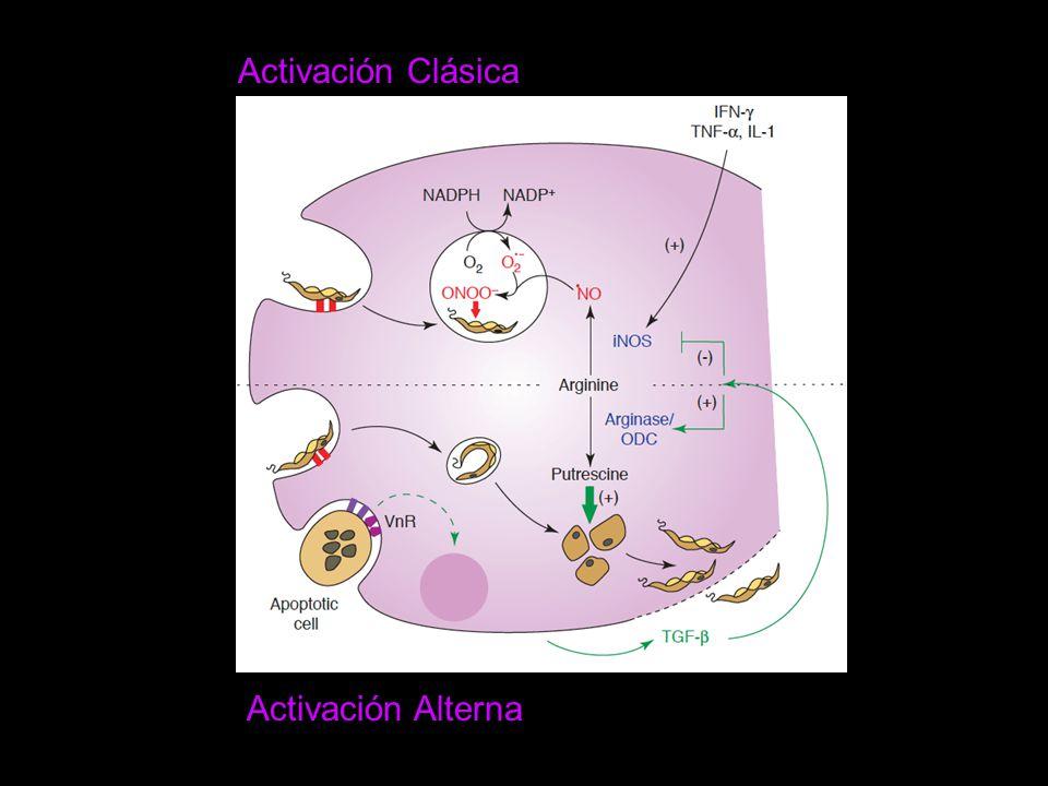 Activación Alterna Activación Clásica
