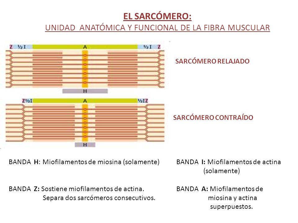 EL SARCÓMERO: UNIDAD ANATÓMICA Y FUNCIONAL DE LA FIBRA MUSCULAR BANDA H: Miofilamentos de miosina (solamente) BANDA I: Miofilamentos de actina (solame