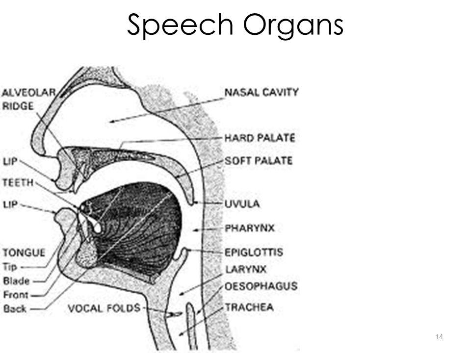 Speech Organs 14