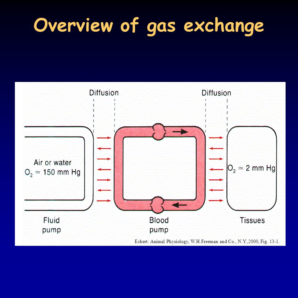 Overview of gas exchange Eckert: Animal Physiology, W.H.Freeman and Co., N.Y.,2000, Fig. 13-1.