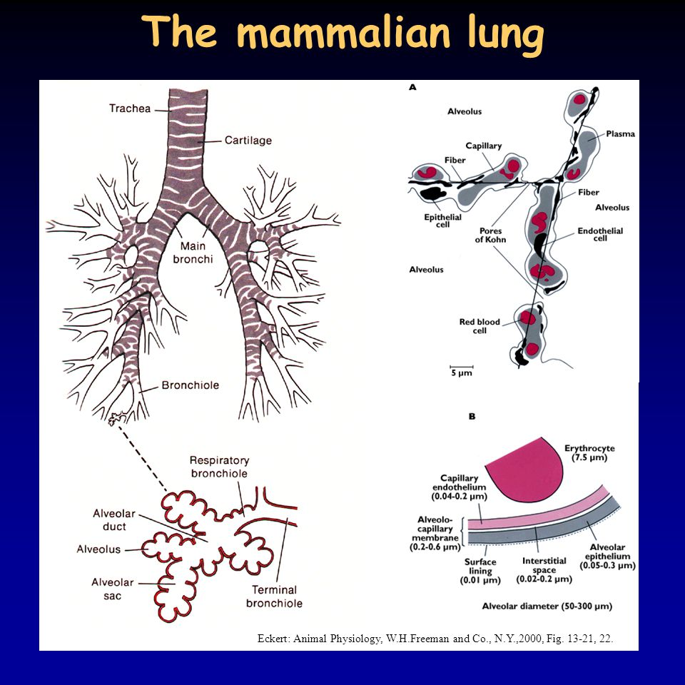 The mammalian lung Eckert: Animal Physiology, W.H.Freeman and Co., N.Y.,2000, Fig. 13-21, 22.