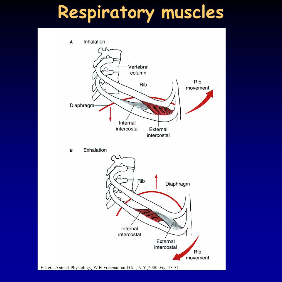 Respiratory muscles Eckert: Animal Physiology, W.H.Freeman and Co., N.Y.,2000, Fig. 13-31.