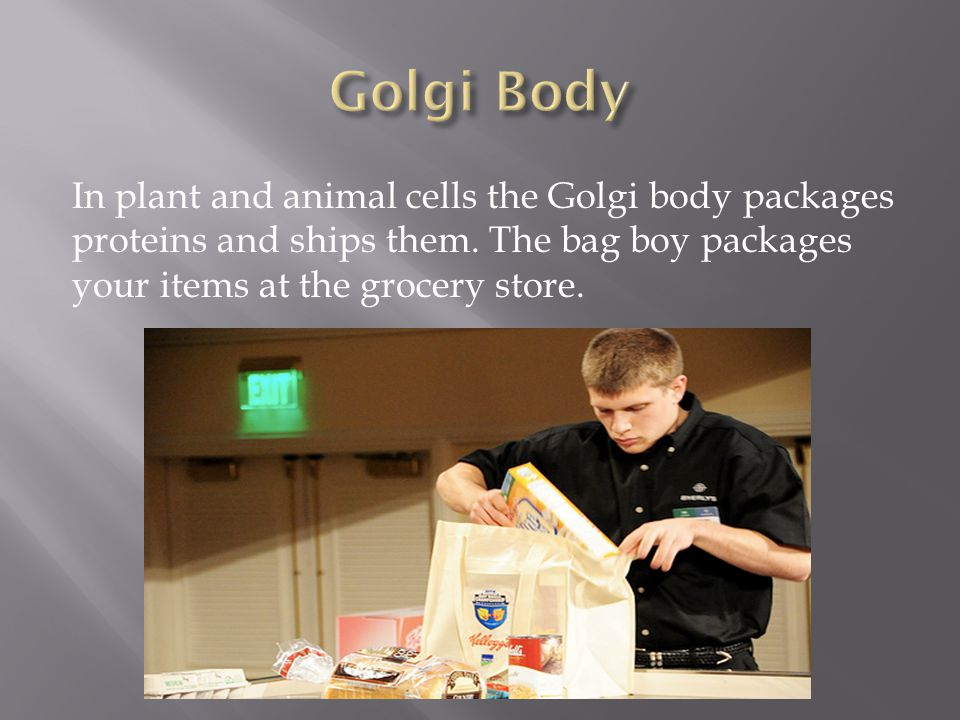 In plant and animal cells the Golgi body packages proteins and ships them. The bag boy packages your items at the grocery store.