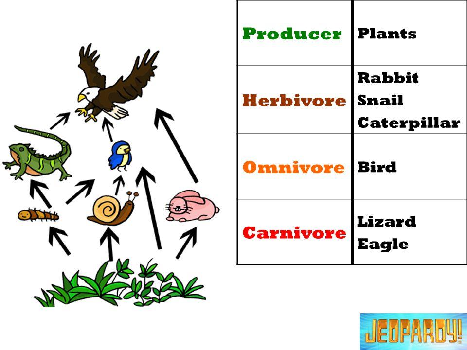 Producer Plants Herbivore Rabbit Snail Caterpillar Omnivore Bird Carnivore Lizard Eagle