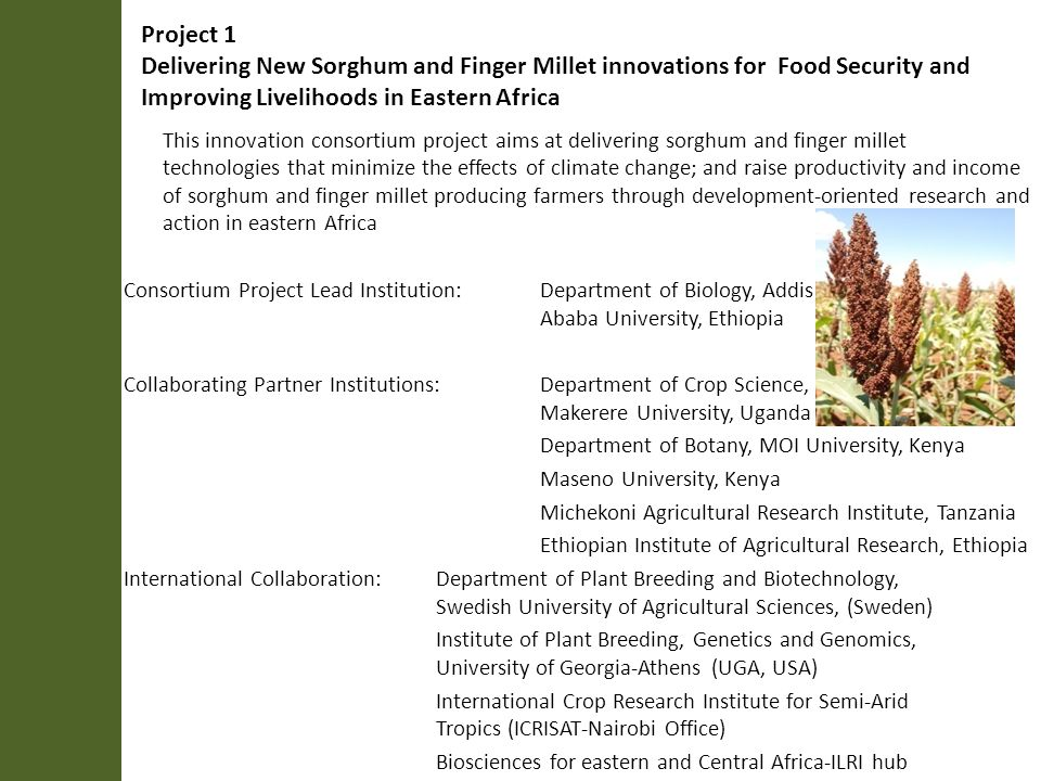 Project 1 Delivering New Sorghum and Finger Millet innovations for Food Security and Improving Livelihoods in Eastern Africa This innovation consortium project aims at delivering sorghum and finger millet technologies that minimize the effects of climate change; and raise productivity and income of sorghum and finger millet producing farmers through development-oriented research and action in eastern Africa Consortium Project Lead Institution: Department of Biology, Addis Ababa University, Ethiopia Collaborating Partner Institutions: Department of Crop Science, Makerere University, Uganda Department of Botany, MOI University, Kenya Maseno University, Kenya Michekoni Agricultural Research Institute, Tanzania Ethiopian Institute of Agricultural Research, Ethiopia International Collaboration:Department of Plant Breeding and Biotechnology, Swedish University of Agricultural Sciences, (Sweden) Institute of Plant Breeding, Genetics and Genomics, University of Georgia-Athens (UGA, USA) International Crop Research Institute for Semi-Arid Tropics (ICRISAT-Nairobi Office) Biosciences for eastern and Central Africa-ILRI hub