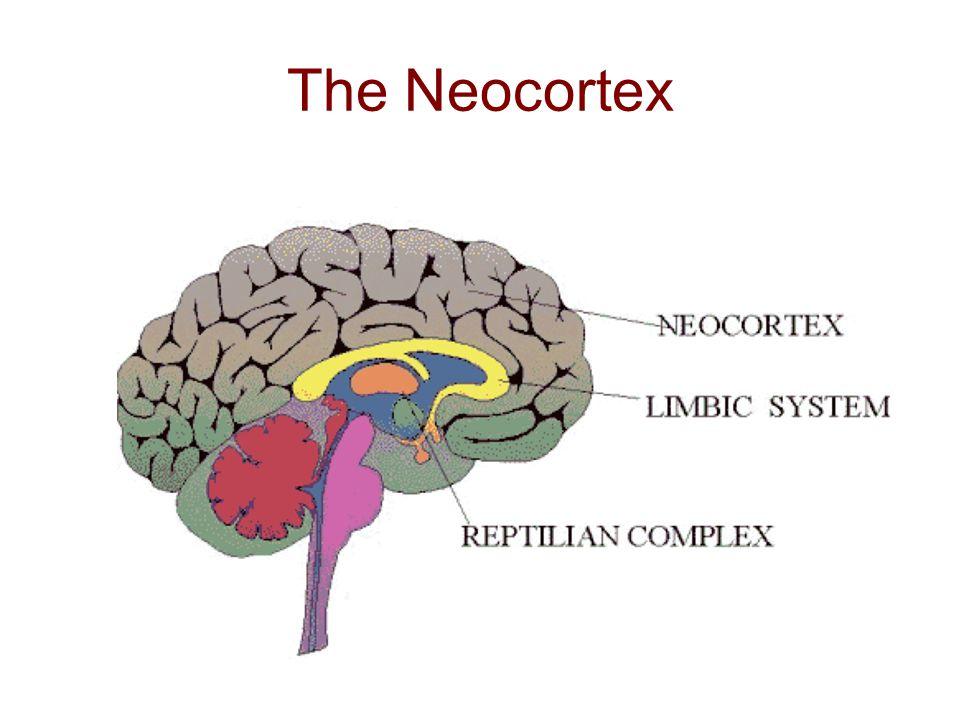 The Neocortex