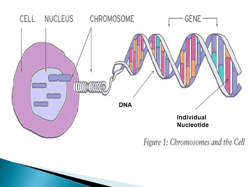 DNA Individual Nucleotide