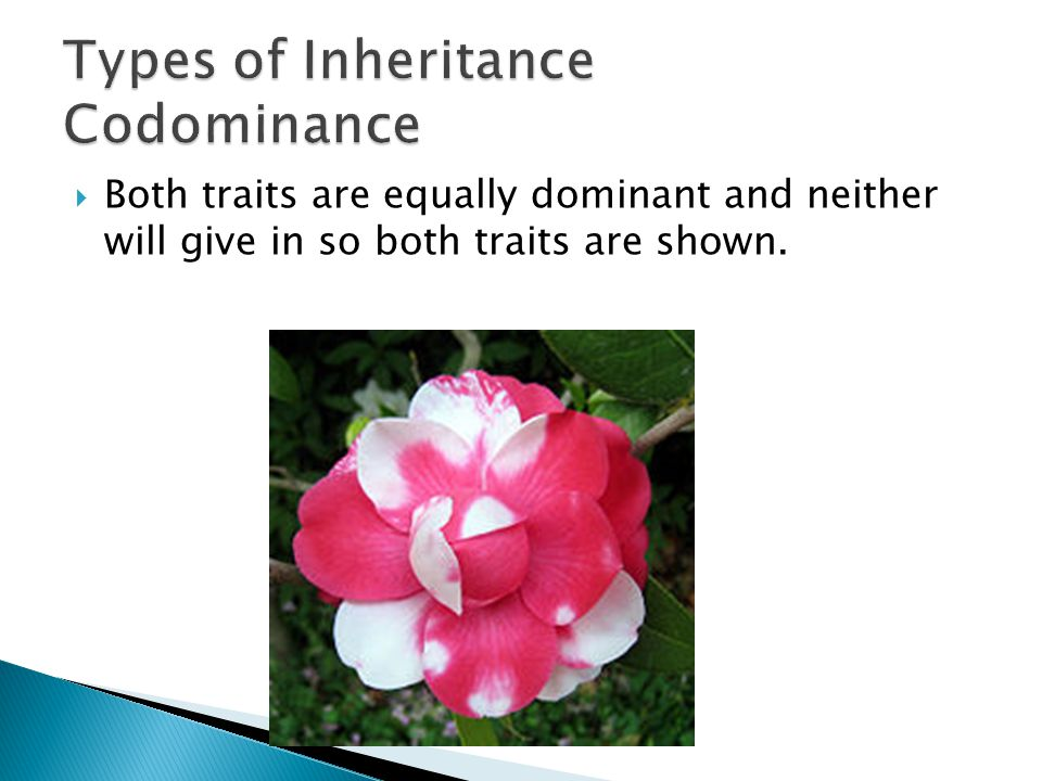 Both traits are equally dominant and neither will give in so both traits are shown.