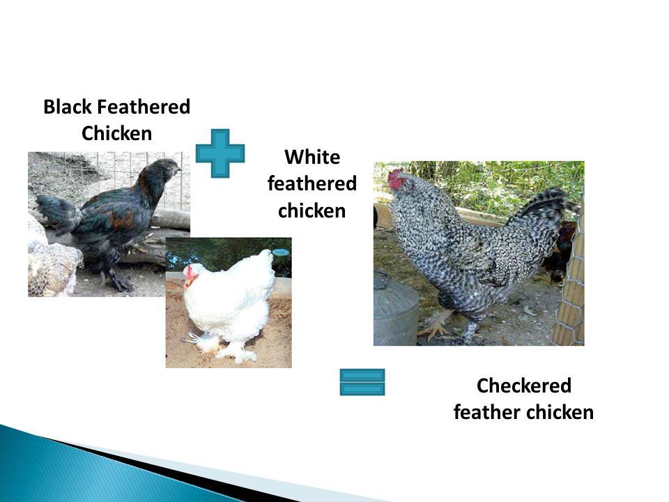 Black Feathered Chicken White feathered chicken Checkered feather chicken
