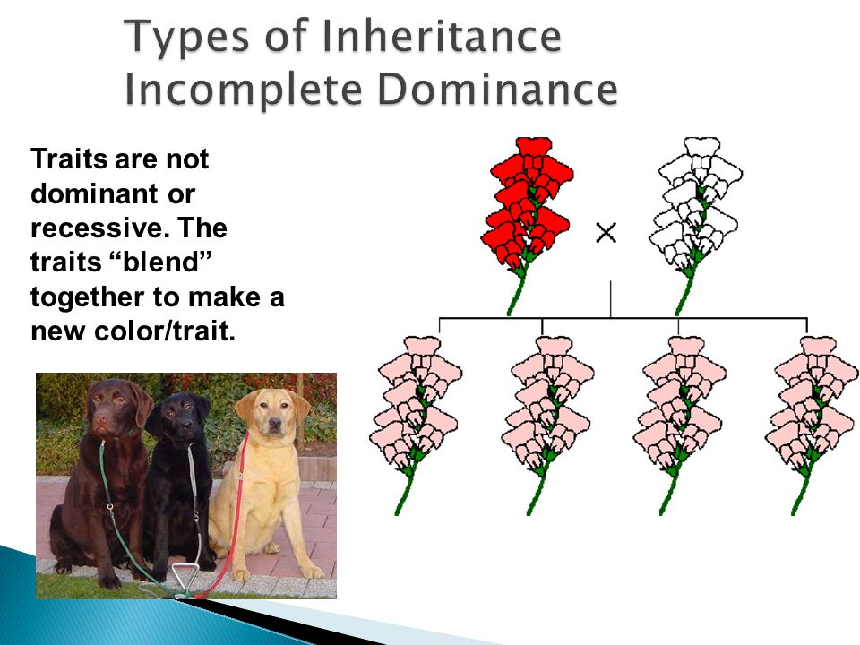 Traits are not dominant or recessive. The traits blend together to make a new color/trait.