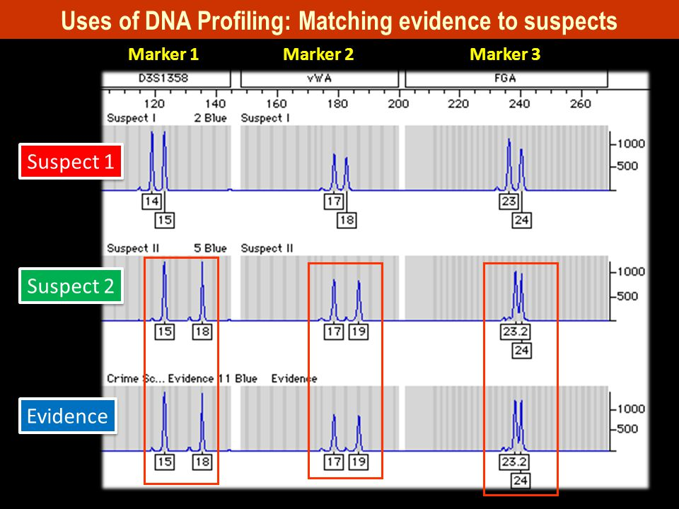 Suspect 1 Suspect 2 Evidence Uses of DNA Profiling: Matching evidence to suspects Marker 1Marker 2Marker 3