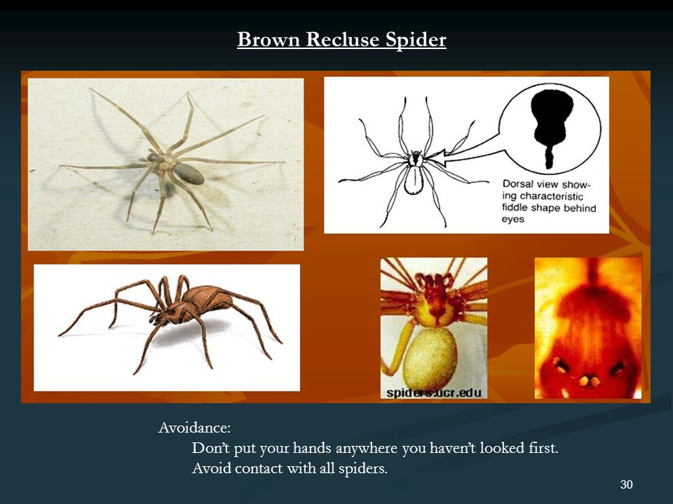 30 Avoidance: Dont put your hands anywhere you havent looked first. Avoid contact with all spiders. Brown Recluse Spider