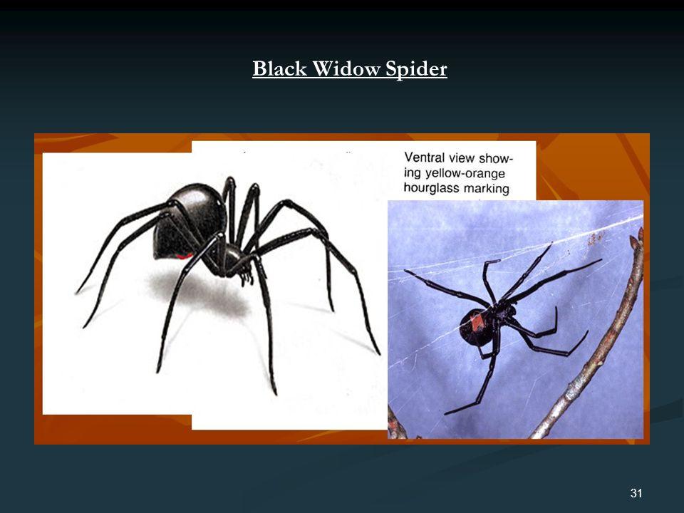 31 Black Widow Spider
