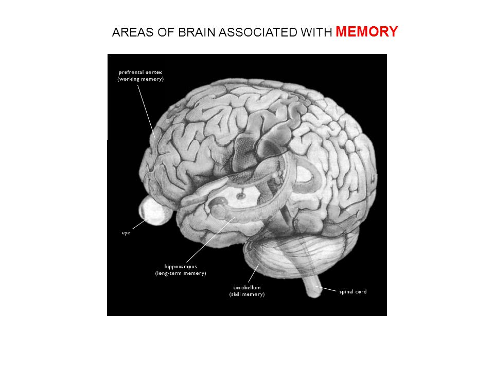 AREAS OF BRAIN ASSOCIATED WITH MEMORY