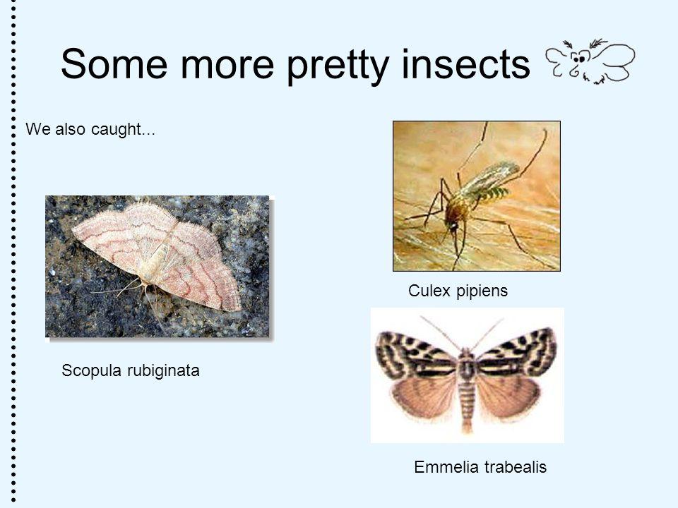 Some more pretty insects We also caught... Culex pipiens Scopula rubiginata Emmelia trabealis