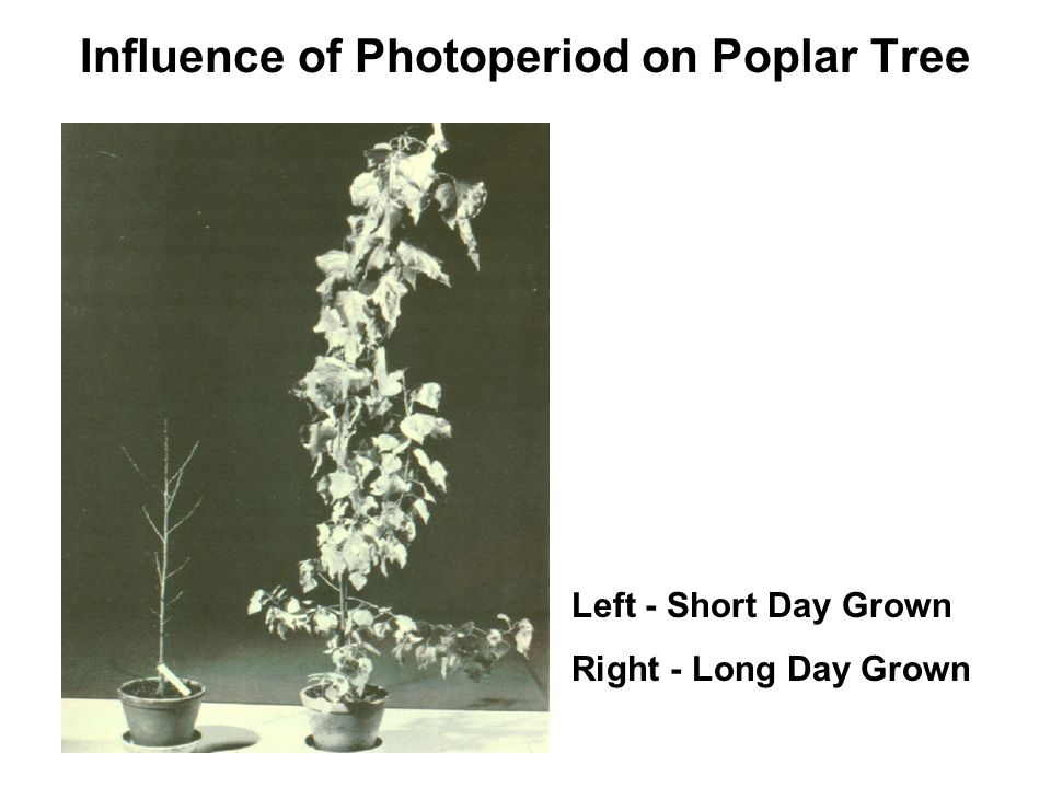 Influence of Photoperiod on Poplar Tree Left - Short Day Grown Right - Long Day Grown